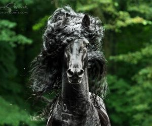 horse and friesian image