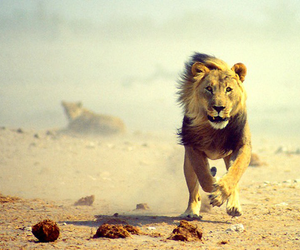 beautiful, lion, and wild image