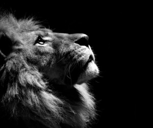 beautiful, black and white, and lion image