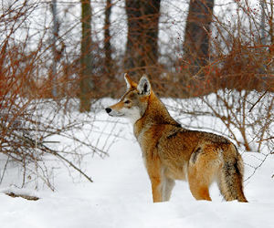 wolf red image