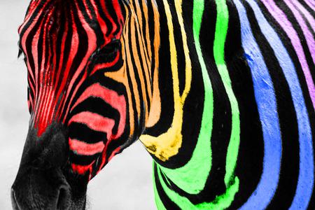 Rainbow Zebra Color Splash Zebras Wallpaper 236705