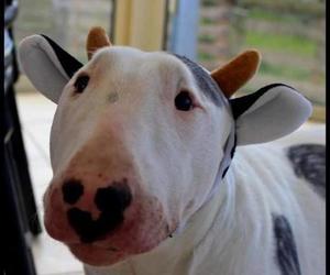 kutya, bull terriers, and buly köpek image