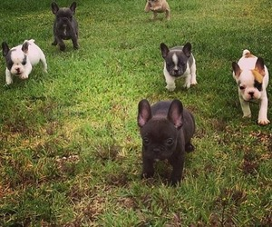frenchies, what is life, and ugh image