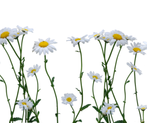 flowers, transparent, and white image