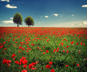 beautiful, poppies, and sky image