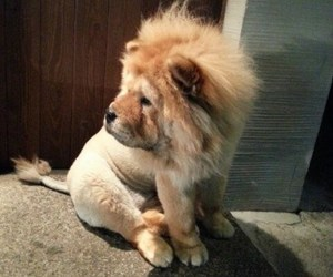 dog, lion, and chowchow image
