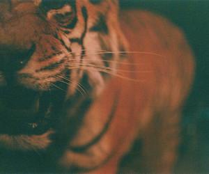 tiger, animal, and vintage image
