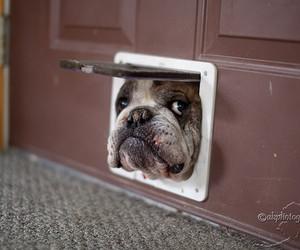 dog, cute, and bulldog image