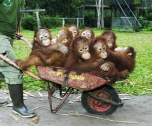 monkeys and wheelbarrow image