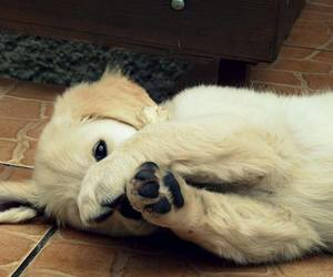 golden retriever, paws, and puppy image