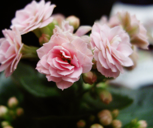 flower, pink, and kalanchoe image