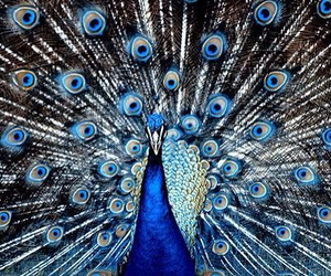 peacock, animal, and blue image