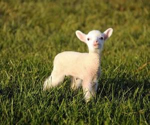 cute animals, lamb, and sheep image