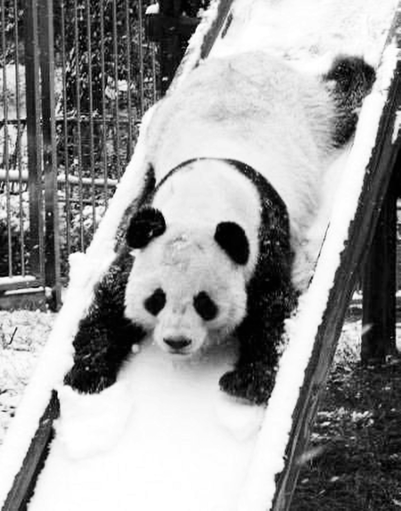panda, snow, and animal image