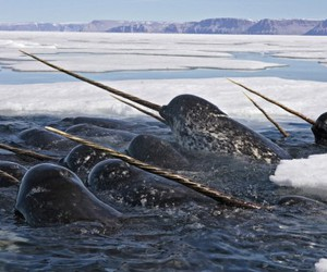 narwhals image