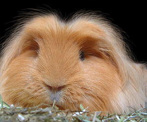 cute animals and guinea pig image