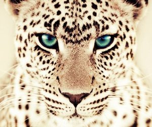 animal, leopard, and blue image