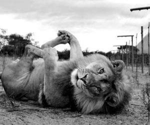 lion and animal image