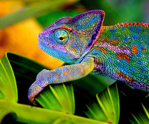 chameleon, animal, and colorful image