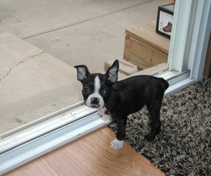 puppy and boston terrier image