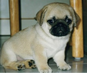 pug, puppy, and cute image