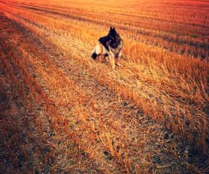 autumn, dog, and field image