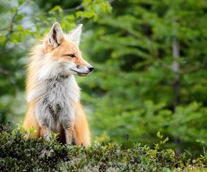 fox, nature, and animal image
