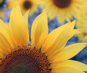 bluish, sun, and sunflowers image