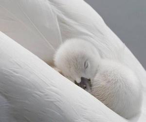 Swan, animal, and baby image