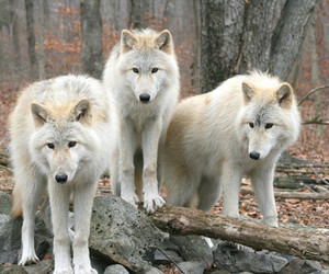 photography, wolf, and wolves image