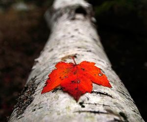 maple, leaf, and red image