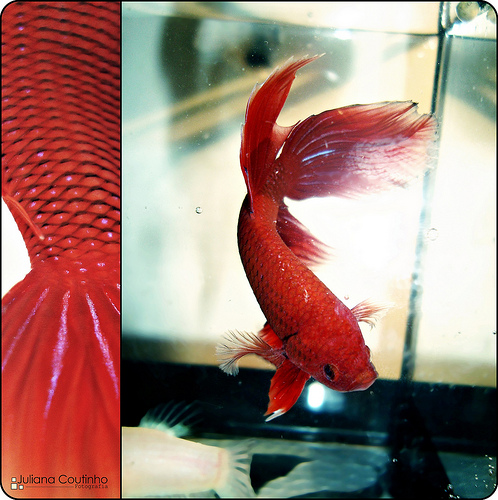 animal, betta, and cleo image