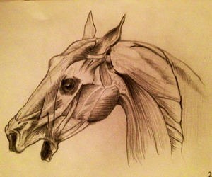 anatomy, drawing, and horse image