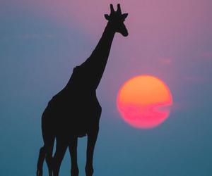 giraffe, animal, and sun image