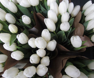 tulips and spring image