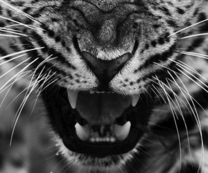 anger, leopard, and animal image