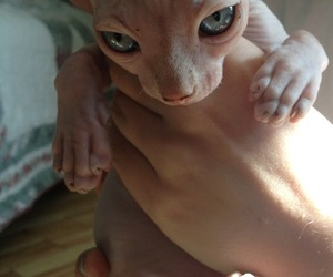 beautiful, cat, and sphynx image