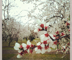 almond blossom, beautiful, and edited image