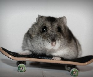 animal, hamster, and little image
