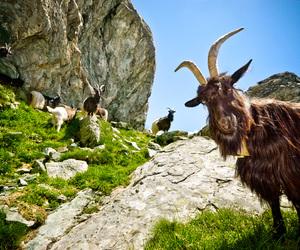 animal, goats, and switzerland image