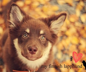 dog, all i have, and lapphund image