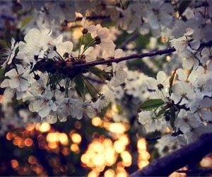 bokeh, cherry, and flowers image