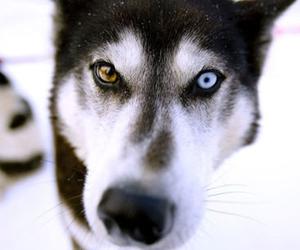 dog, eyes, and husky image