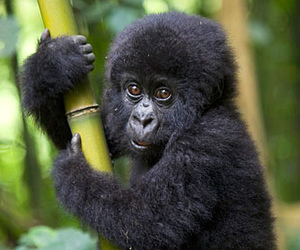 animal, gorilla, and baby image