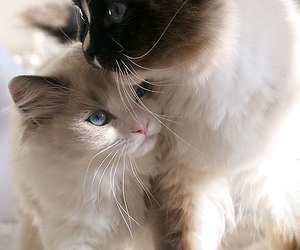 blue eyes, cats, and fluffy image