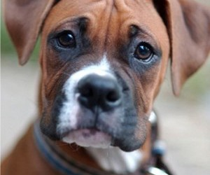 dog and boxer image