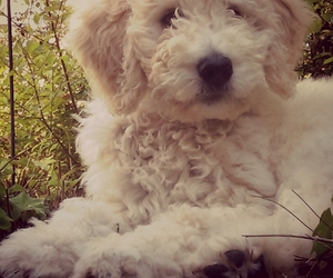 beauty, puppy, and labradoodle image