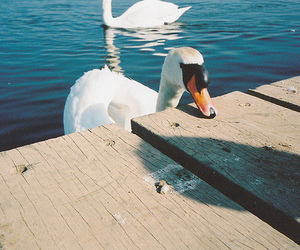 photography, sea, and Swan image