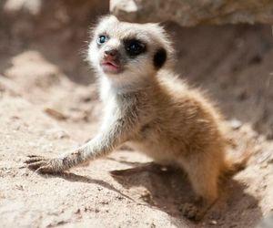 animal, baby, and meerkat image