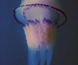 jellyfish, sea, and animal image